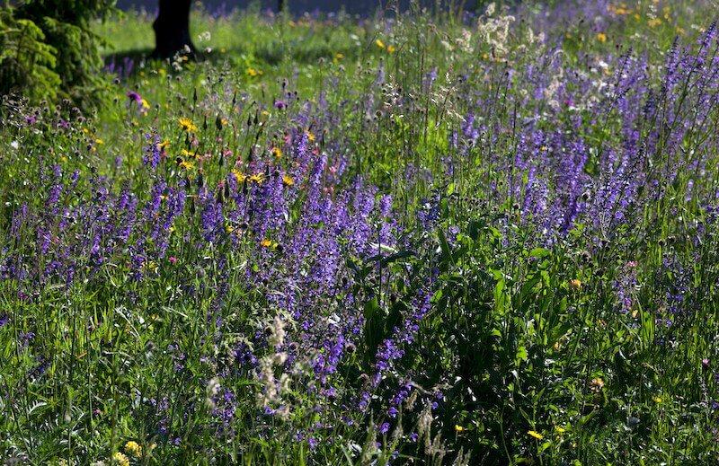 7175502344 e3a69df76c k - Uma libélula pode comer centenas de mosquitos por dia. Mantenha essas plantas no seu quintal para atrair libélulas!