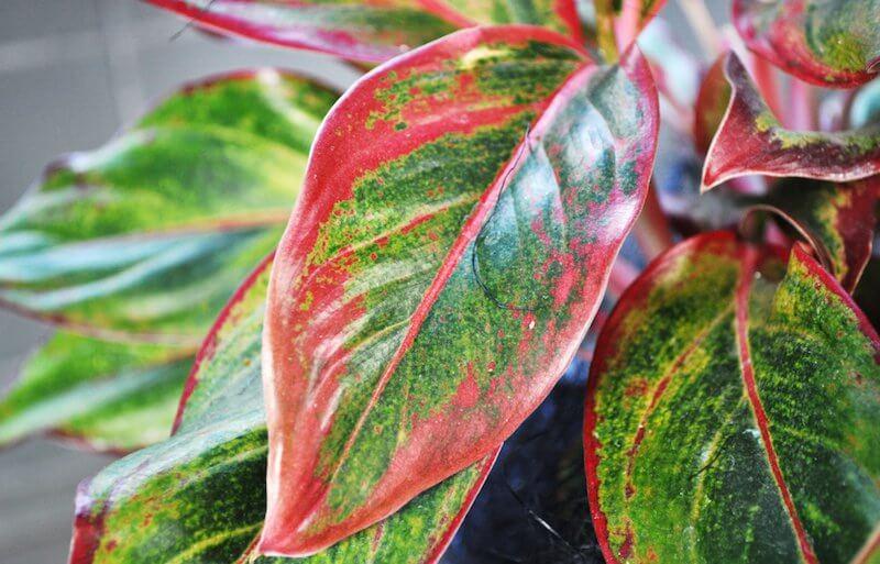 Aglaonema Chinese Evergreen 2 - Essas plantas são bombas de oxigênio e limpam o ar em sua casa