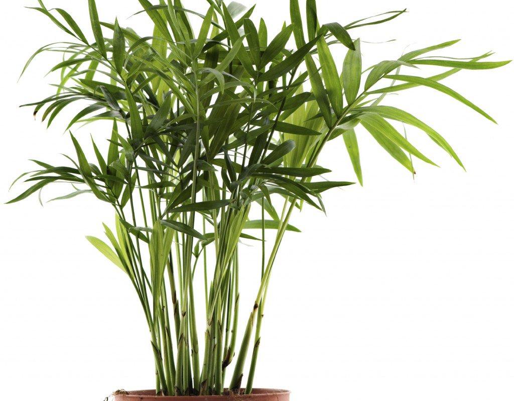 Bamboo Palm 1024x798 - Essas plantas são bombas de oxigênio e limpam o ar em sua casa