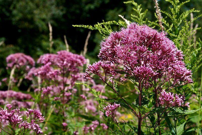 Joe Pye Weed - Uma libélula pode comer centenas de mosquitos por dia. Mantenha essas plantas no seu quintal para atrair libélulas!