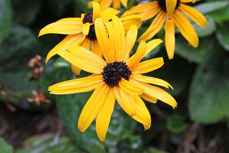 black eyed susan - Uma libélula pode comer centenas de mosquitos por dia. Mantenha essas plantas no seu quintal para atrair libélulas!