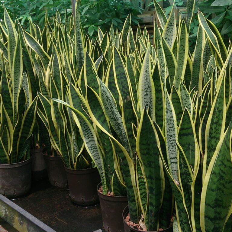 snake plant 768x768 - Essas plantas são bombas de oxigênio e limpam o ar em sua casa