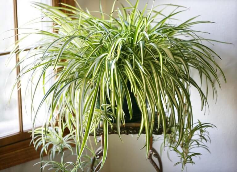 spider plant 768x556 - Essas plantas são bombas de oxigênio e limpam o ar em sua casa