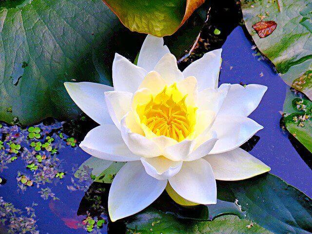 water lily - Uma libélula pode comer centenas de mosquitos por dia. Mantenha essas plantas no seu quintal para atrair libélulas!