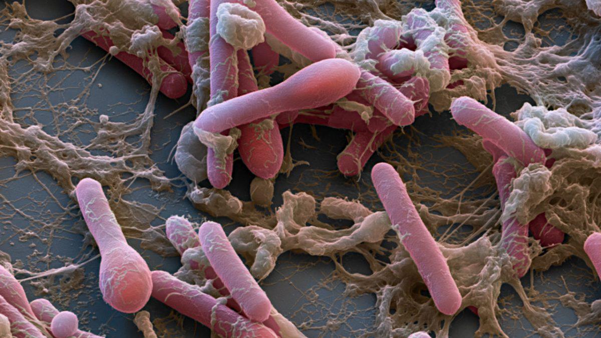 Cbotulinum 1280p scaled - Nova estratégia para combater o veneno mais potente do mundo passa nos primeiros testes em animais