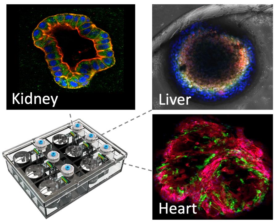 Tissue Dynamics Human on Chip platform - Israelenses criam um medicamento contra o câncer sem testes em animais