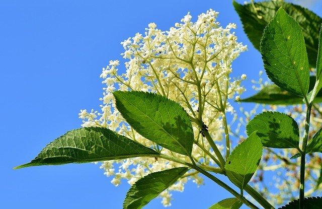 elder 3430966 640 - Remédios naturais para tosse