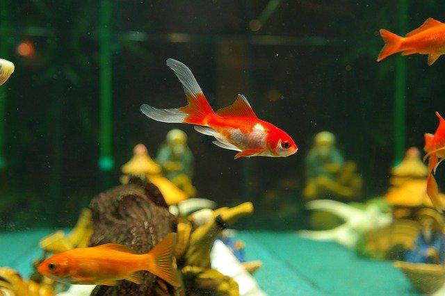 """fish 235784 640 - Jogados em lagos, """"peixinhos-dourados"""" de aquário ficam gigantes e se tornam ameaça para espécies nativas"""