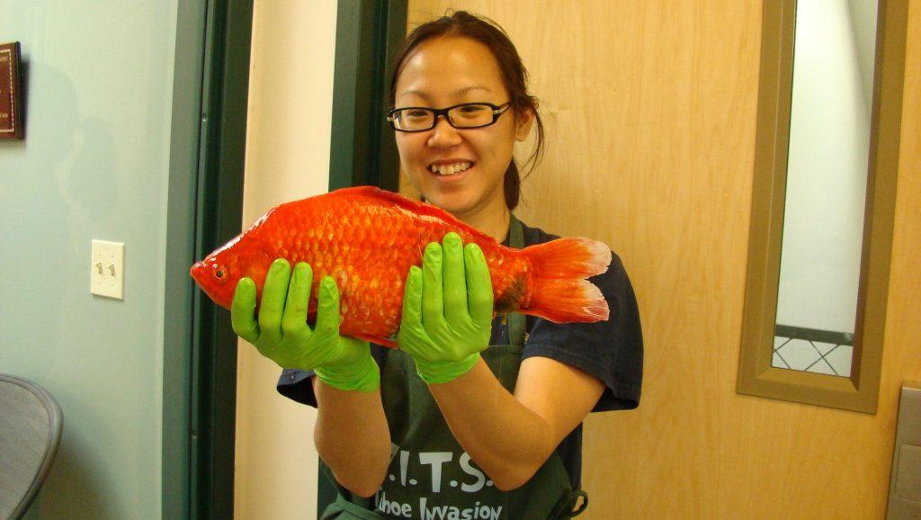 """gan giant goldfish 022113 16 9 1024x578 - Jogados em lagos, """"peixinhos-dourados"""" de aquário ficam gigantes e se tornam ameaça para espécies nativas"""